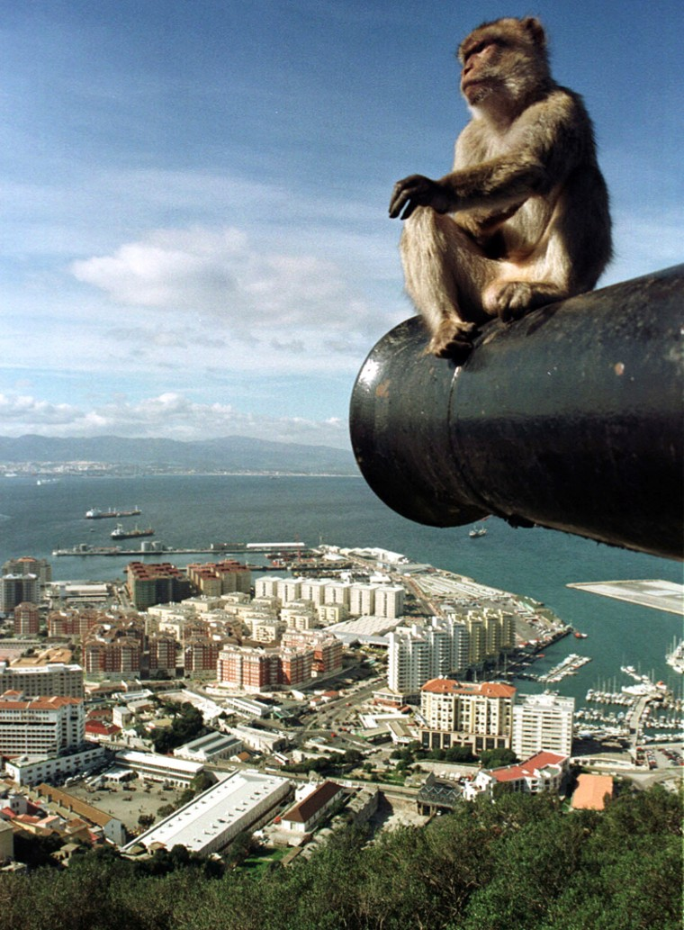 Image: A monkey sitting on a cannon on the top of the Rock of Gibraltar