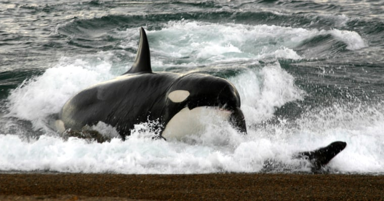 Image: A killer whale attacks on the beach