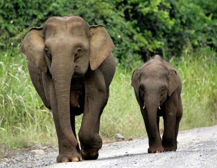 Image: pygmy elephants