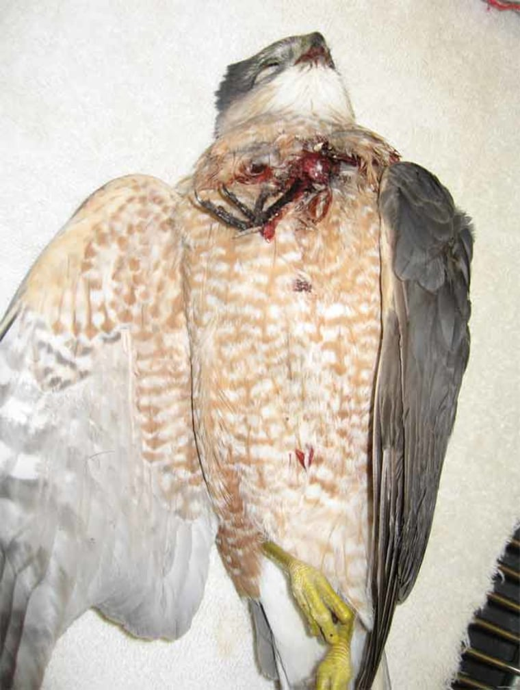 The claw of a songbird is visible protruding from the chest of this dead hawk.