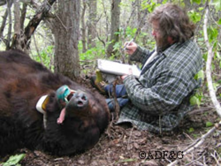 Alaska state biologist Sean Farley, seen here examining a sedated bear, found that more are showing up in the outskirts of Anchorage.