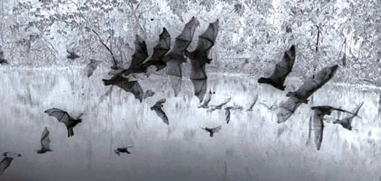 Scientists studied this combined photographof greater bulldog bats hunting. The animals'loud calls didn't help them detect prey any farther away, researchers determined.