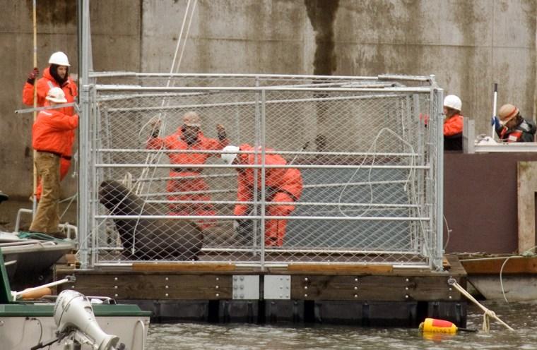 Image: captured sea lion