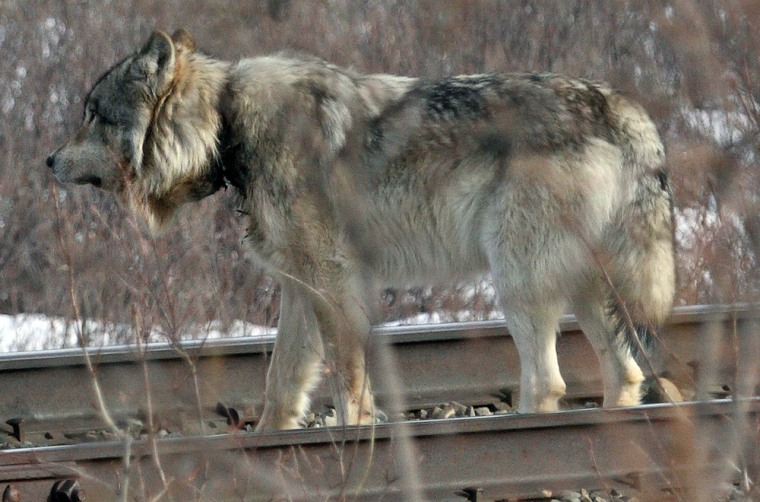 Image: Wolf with a trapper's snare deeply embedded in its neck