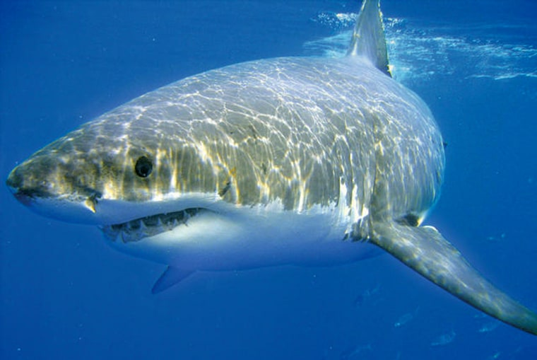 Researchers say strong electric fields can overwhelm a shark's electricity sensors, keeping them at bay.