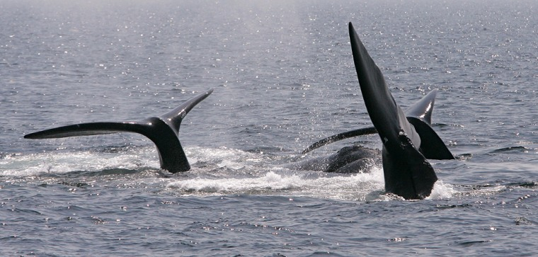 Image: Right whales