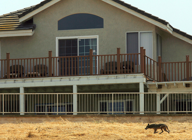 A coyote roams past a house in Alterra Park in Chino Hills, Calif. on Thursday, May 8, 2008. Last week, a nanny pulled a 2-year-old girl from the jaws of a coyote in this San Bernardino County community about 30 miles east of Los Angeles.