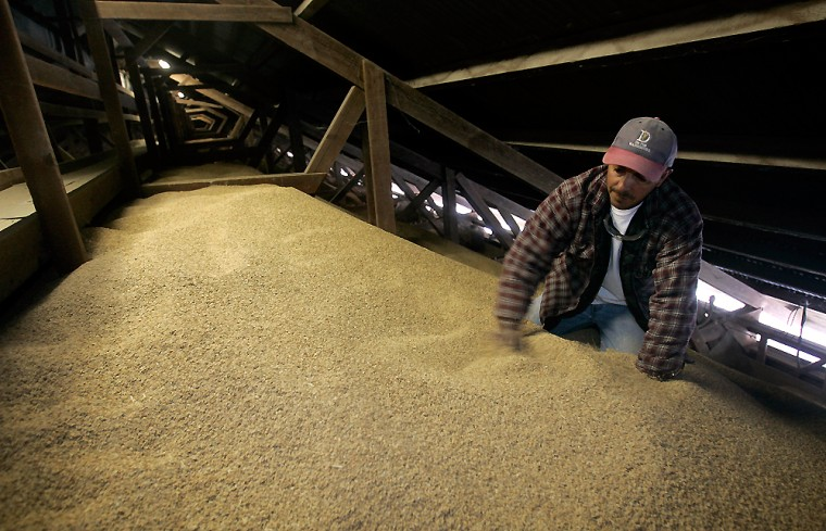 Image: Juan Vasquez levels out rice seed stored at the DePue Warehouse Co. near Maxwell, Calif.
