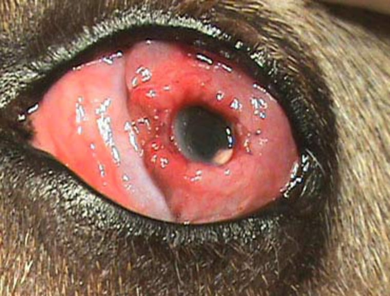 The new plastic cornea gives Dixie clear vision with little chance of rejection.