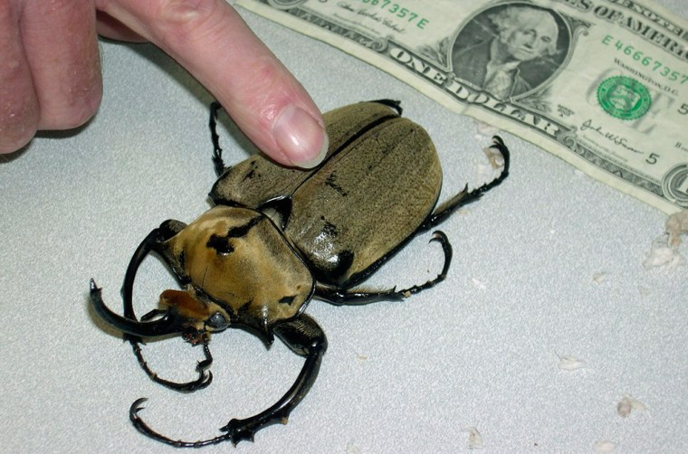 Image: Giant beetle seized at post office