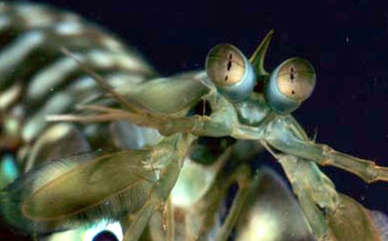 Image: Mantis shrimp