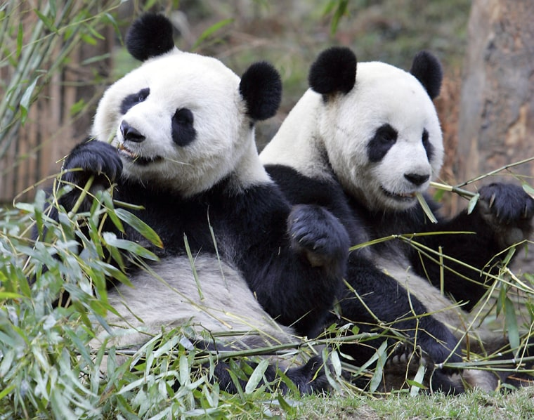 Two pandas have their breakfasts at the China Conservation and Research Center for the Giant Panda in Wolong Nature Reserve inthis 2006 file photo.