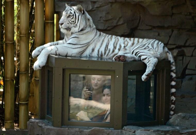 Image:  A tiger at Busch Gardens Tampa Bay Jungala