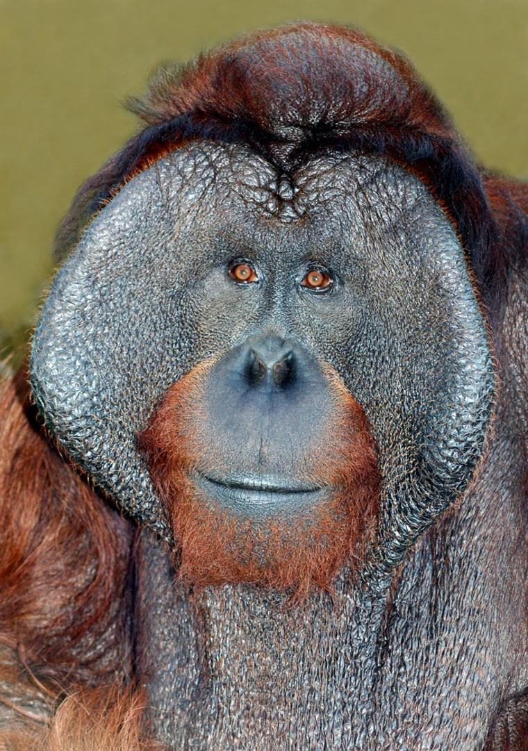 Image: Escaped orangutan