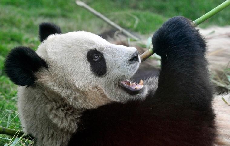 Image: Giant panda
