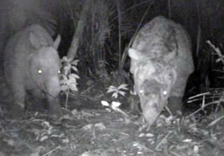 Image: Javan rhinos