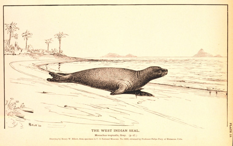The Caribbean monk seal, also known as the West Indian seal,will be rememberedonly by drawings. On Friday, the U.S. declared it extinct.