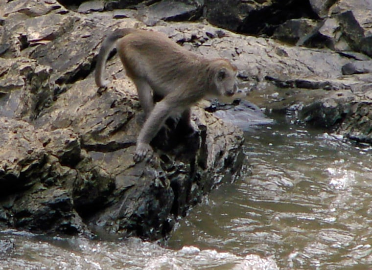 Image: A long-tailed macaque monkey