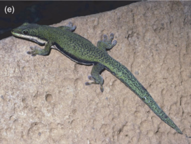 This species of gecko, Phelsuma lineata punctulata, lives only in northern Madagascar and could go extinct as it faces warming pressure to move uphill, a researcher says.