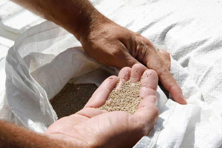 Switchgrass seed was planted in an Oklahoma field to test the viability of producing cellulosic ethanol.