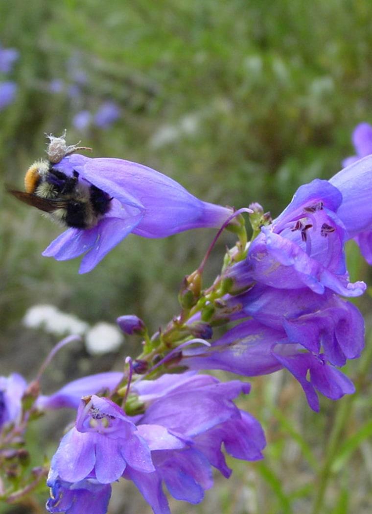 Bumblebee visiting a violet flower. Credit: Nicole Milligan.