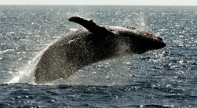 Image: Humpback whale