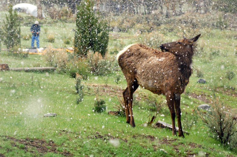 Image: An elk wanders through a campground in Mammoth, Wyoming