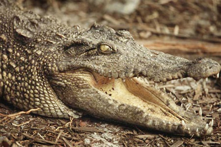 Siamese crocodiles were once found over most of Southeast Asia, but during the past century