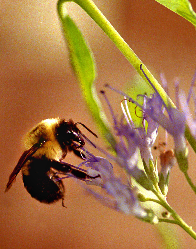 In addition to producing honey, the honeybee plays a keyrole in pollination.