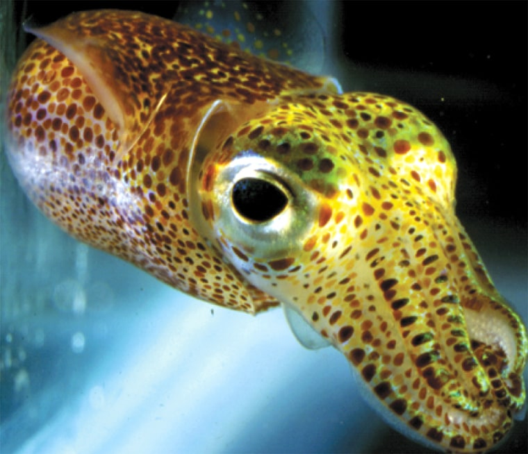 The Hawaiian bobtail squid has reflectiveplates around its eyes and on its skin, which shine witha silvery gleam in this photo. The reflector plates are made of a previously undescribed type of protein called reflectin.