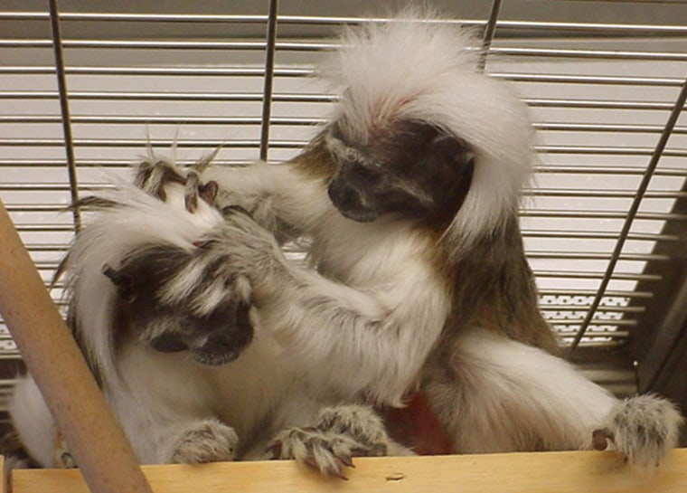 Research suggests that animals such as these cotton-top tamarin monkeys cannot master the more complex grammars that are central to human language.
