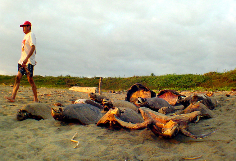 Poachers along the beach in San Valentin, Mexico, leave behind turtle shells, taking the meat and any eggs they can find.