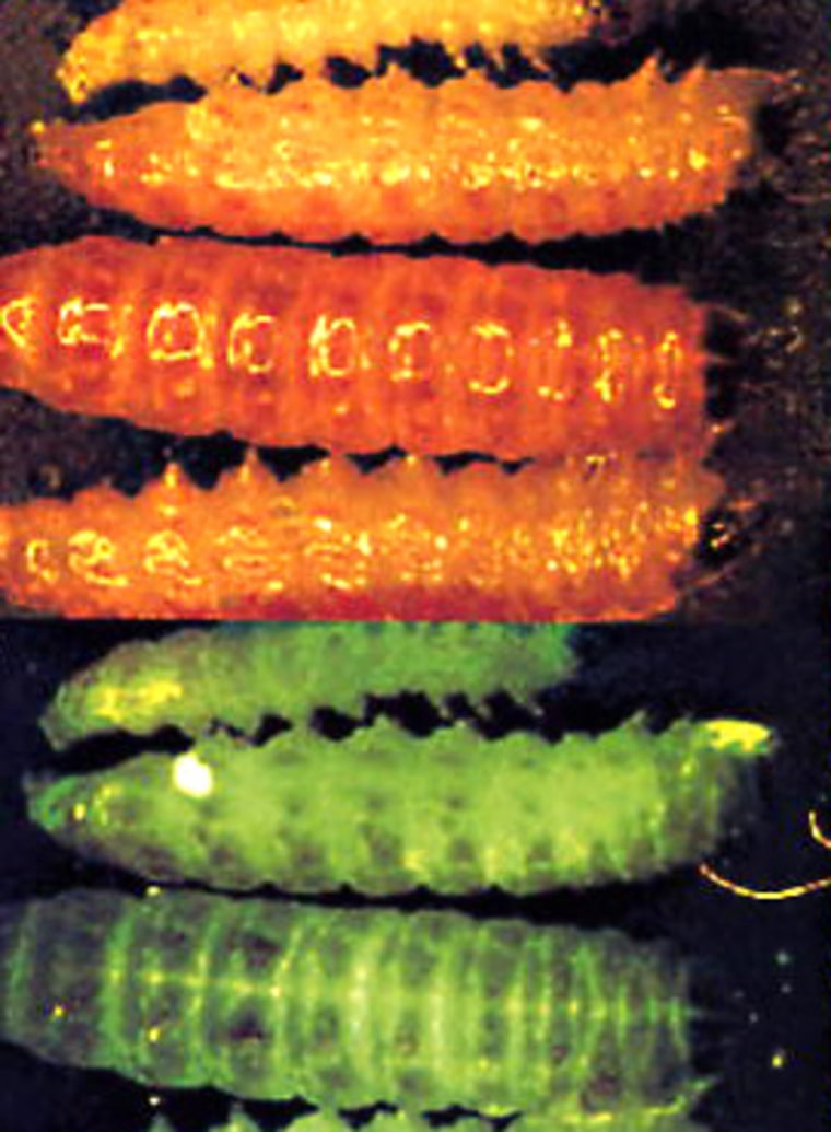 Genetically-modified pink bollworms turn a fluorescent green under UV light thanks to a jellyfish gene.