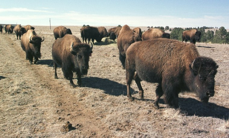 Even before the discovery of the first U.S. mad cow case, 2003 was a record year in terms ofbison slaughter, with 32,000 animals turned into meat -- a 25 percent increase from 2002 and a 63 percent increase from 2001, according to the National Bison Association.