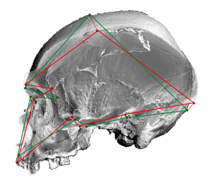Researchers comparedthe skulls of modern and ancient humans with those of Neanderthals, as well as11 existing species of nonhuman primates including chimpanzees, gorillas and baboons. Their conclusion: Humans are as different fromNeanderthals as they are from gorillas.