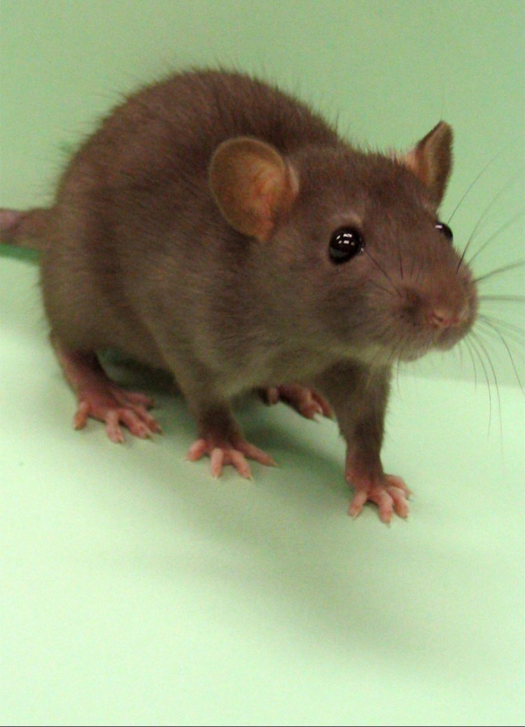 Rattus norvegicus is commonly used as an experimental animal in laboratories, and the scientists say sequencing of its genome will make the creature an even better tool for fighting human disease.