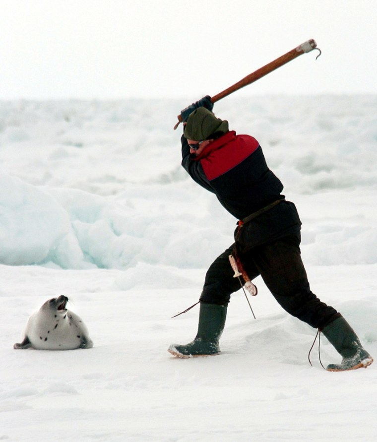 Largest Canadian Seal Hunt In Decades Begins