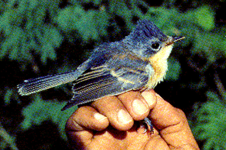 This file photo shows aGuam broadbill songbird, a species thatwent extinct in 1984 even though activists petitioned for protection in 1979.