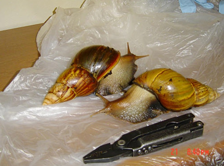 Two Giant African Land Snails rest on a table in the U.S. Department of Agriculture's Milwaukee office on Wednesday.