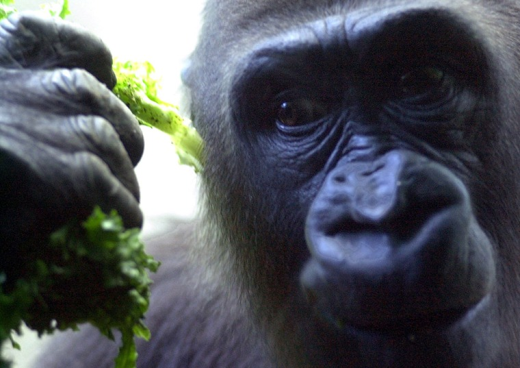A juvenile lowland gorilla at the Bronx Zoo in New York. The Dian Fossey is launching a $2.9 million program to protect the gorillas in the wild.