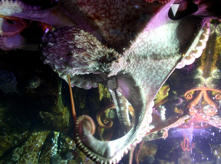 Two giant Pacific octopuses share a tank at the Alaska SeaLife Center in Seward, Alaska. The 5-year-old male, J-1, is at center; Aurora, the female, is at right.