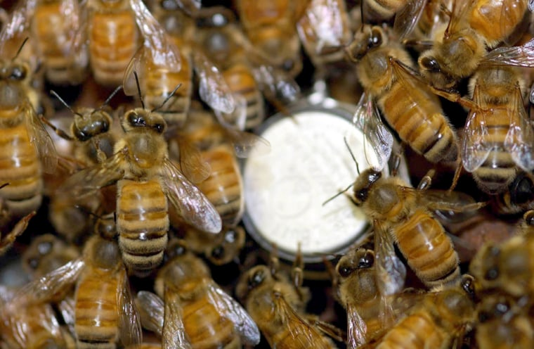 Honeybees swarm around a temperature sensor. The bees may look alike, but their diversity helps make them more efficient as a group.