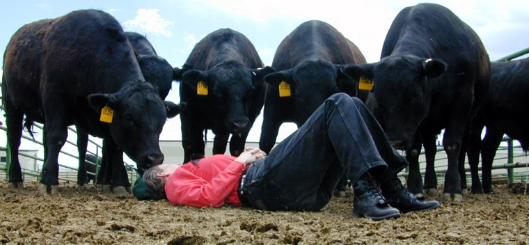 Temple Grandin lies on the ground at a Colorado State University research feedlot, allowing Angus cattle to cautiously approach her. After years working to improve conditions for animals in slaughterhouses, Grandin is now examining how cattle are treated on the farm as well.