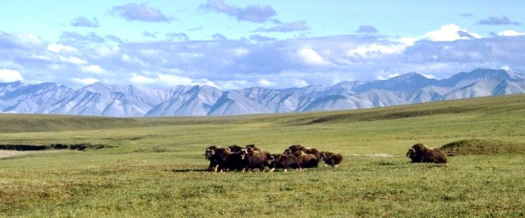 A herd of musk ox graze in an area of the Arctic National Wildlife Refuge in Alaska, known as Area 1002. The Bush administration has proposed drilling for oil in Area 1002.