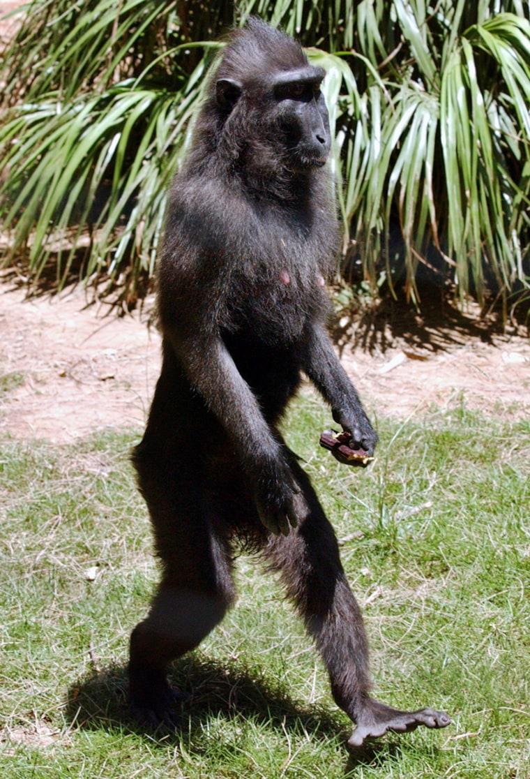 Natasha, a 5-year-old black macaque, walks at the Safari Park near Tel Aviv on Tuesday.