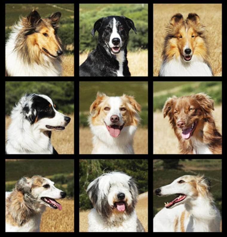 Researchers studying Collies have discovered that breed's family tree includes not only several herding dogs but sight hounds as well. Nine related breeds, top row, from left are Collie, McNab and Shetland Sheepdog. Middle row, from left are, Australian Shepherd, English Shepherd and Miniature Australian Shepherd. Bottom row, from left are Longhaired Whippet, Old English Sheepdog, and Silken Windhound.