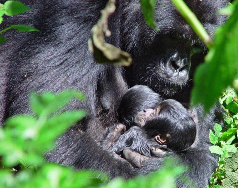 Nyabitondore, a 12-year-old gorilla, holds her twins last May, just a few days after they were born in Rwanda's Volcanoes National Park.