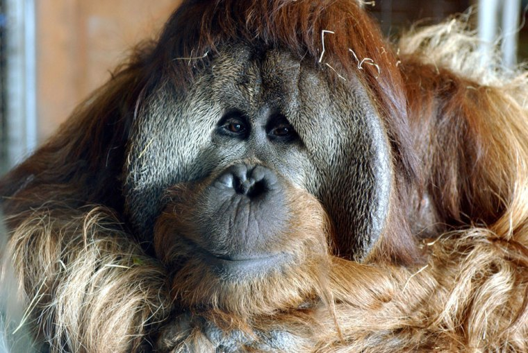 Azy, a male orangutan, was one of the primates tested in an energy-efficiency study at the Great Ape Trust of Iowa.