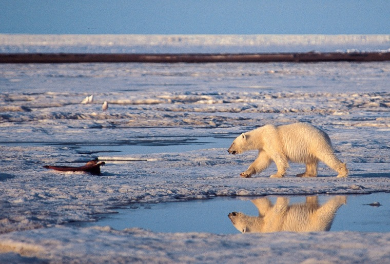 A polar bear makes its way across a frozen stretch of the Arctic National Wildlife Refuge in Alaska. An upcoming report warns warmer Arctic temperatures mean less ice in winter, among other changes.