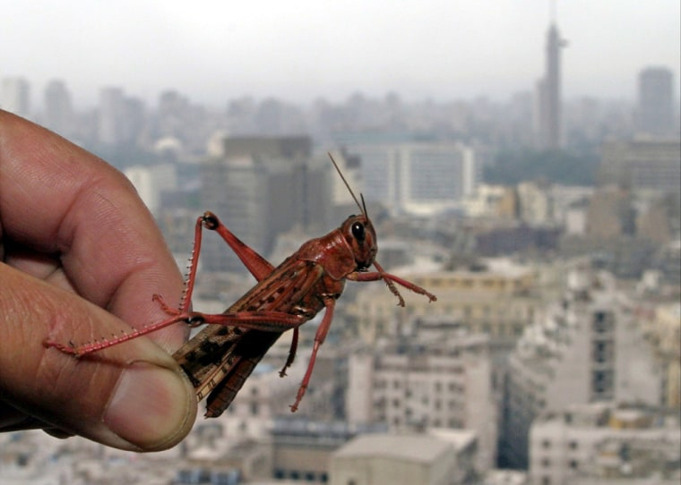 A captured pink locust is seen with the Cairo skyline in the background